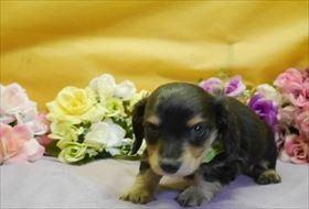 カニンヘンダックスフンド(ロング)の子犬(ID:1246711910)の1枚目の写真/更新日:2018-04-17