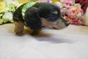 カニンヘンダックスフンド(ロング)の子犬(ID:1246711910)の2枚目の写真/更新日:2018-04-17