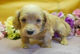 カニンヘンダックスフンド(ロング)の子犬(ID:1246711911)の1枚目の写真/更新日:2018-04-17