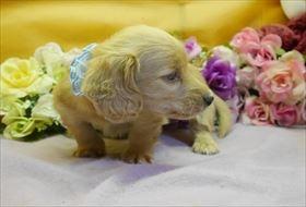 カニンヘンダックスフンド(ロング)の子犬(ID:1246711911)の2枚目の写真/更新日:2018-04-17