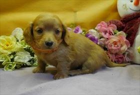 カニンヘンダックスフンド(ロング)の子犬(ID:1246711912)の1枚目の写真/更新日:2018-04-17