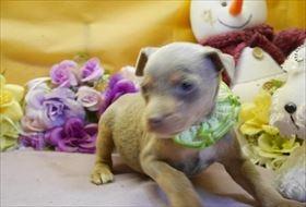 ミニチュアピンシャーの子犬(ID:1246711913)の1枚目の写真/更新日:2018-04-17