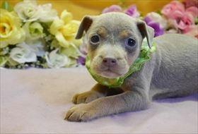 ミニチュアピンシャーの子犬(ID:1246711913)の2枚目の写真/更新日:2018-04-17