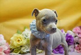 ミニチュアピンシャーの子犬(ID:1246711914)の1枚目の写真/更新日:2018-04-17
