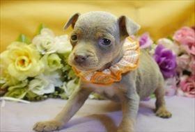 ミニチュアピンシャーの子犬(ID:1246711915)の1枚目の写真/更新日:2018-04-17
