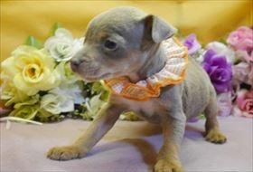 ミニチュアピンシャーの子犬(ID:1246711915)の2枚目の写真/更新日:2018-04-17