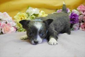 チワワ(ロング)の子犬(ID:1246711916)の1枚目の写真/更新日:2018-04-23