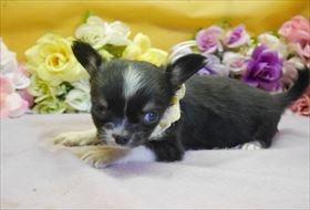 チワワ(ロング)の子犬(ID:1246711917)の1枚目の写真/更新日:2018-04-23