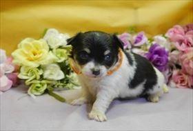 チワワ(ロング)の子犬(ID:1246711918)の1枚目の写真/更新日:2018-04-23
