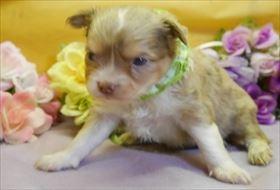 チワワ(ロング)の子犬(ID:1246711919)の1枚目の写真/更新日:2018-04-23