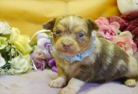 チワワ(ロング)の子犬(ID:1246711920)の1枚目の写真/更新日:2018-04-23