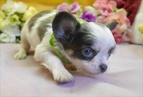 チワワ(ロング)の子犬(ID:1246711921)の1枚目の写真/更新日:2018-04-23