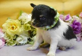 チワワ(ロング)の子犬(ID:1246711922)の1枚目の写真/更新日:2018-04-23