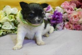 チワワ(ロング)の子犬(ID:1246711922)の2枚目の写真/更新日:2018-04-23
