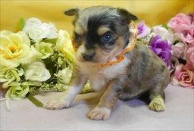 チワワ(ロング)の子犬(ID:1246711923)の1枚目の写真/更新日:2018-04-23