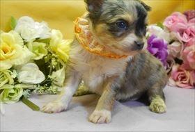 チワワ(ロング)の子犬(ID:1246711923)の2枚目の写真/更新日:2018-04-23