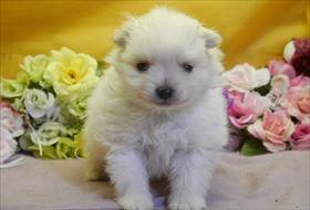 ポメラニアンの子犬(ID:1246711924)の1枚目の写真/更新日:2018-05-14