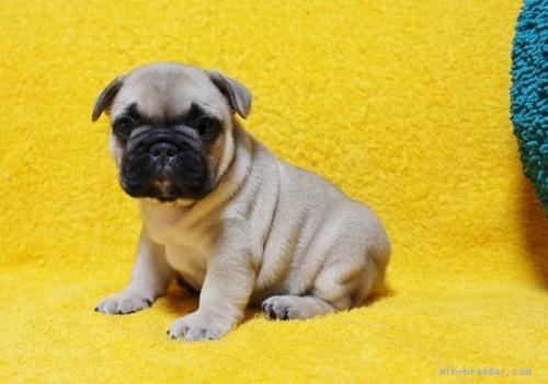 フレンチブルドッグの子犬(ID:1246811002)の1枚目の写真/更新日:2019-01-04