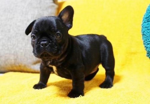 フレンチブルドッグの子犬(ID:1246811003)の3枚目の写真/更新日:2018-12-17
