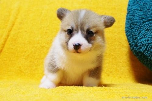 ウェルシュ・コーギー・ペンブロークの子犬(ID:1246811005)の1枚目の写真/更新日:2021-09-24