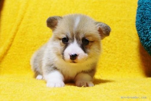 ウェルシュ・コーギー・ペンブロークの子犬(ID:1246811005)の2枚目の写真/更新日:2021-09-24
