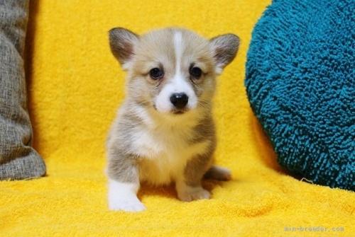 ウェルシュ・コーギー・ペンブロークの子犬(ID:1246811006)の1枚目の写真/更新日:2021-08-29