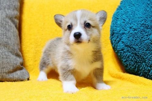 ウェルシュ・コーギー・ペンブロークの子犬(ID:1246811006)の2枚目の写真/更新日:2021-08-29