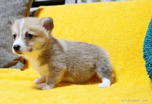 ウェルシュ・コーギー・ペンブロークの子犬(ID:1246811006)の3枚目の写真/更新日:2021-08-29
