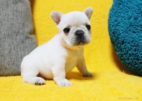 フレンチブルドッグの子犬(ID:1246811008)の2枚目の写真/更新日:2019-04-29
