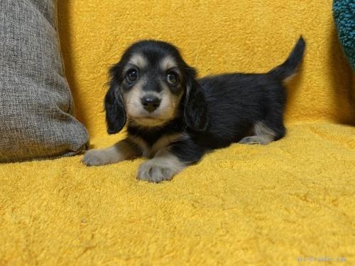 ミニチュアダックスフンド(ロング)の子犬(ID:1246811009)の2枚目の写真/更新日:2019-09-06