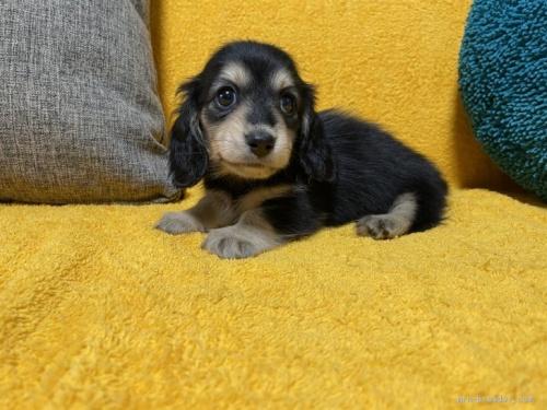 ミニチュアダックスフンド(ロング)の子犬(ID:1246811009)の3枚目の写真/更新日:2019-09-06