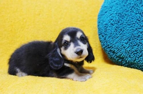 ミニチュアダックスフンド(ロング)の子犬(ID:1246811010)の2枚目の写真/更新日:2019-09-06