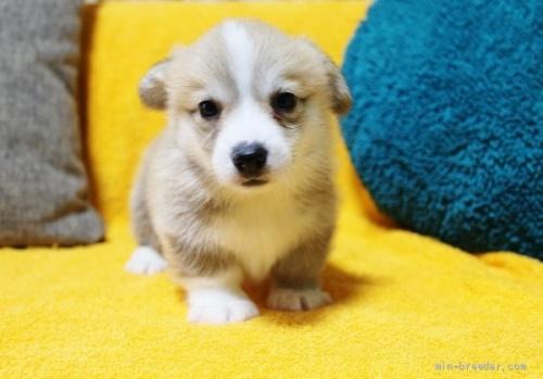 ウェルシュ・コーギー・ペンブロークの子犬(ID:1246811013)の1枚目の写真/更新日:2021-08-29