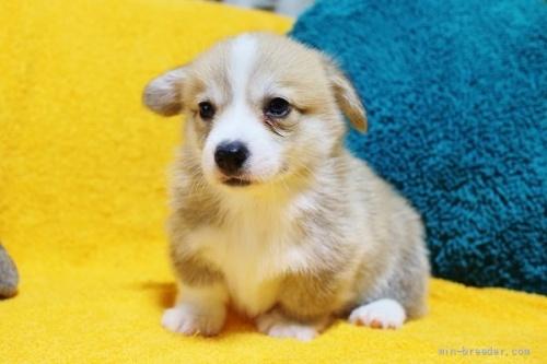 ウェルシュ・コーギー・ペンブロークの子犬(ID:1246811013)の2枚目の写真/更新日:2021-08-29