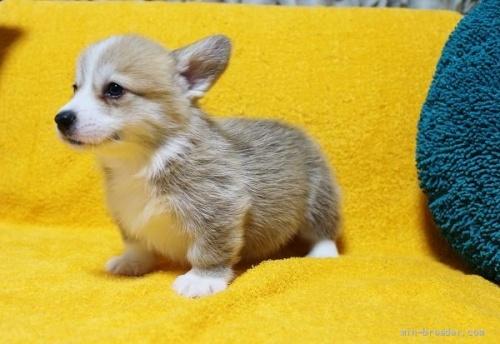 ウェルシュ・コーギー・ペンブロークの子犬(ID:1246811013)の3枚目の写真/更新日:2021-08-29
