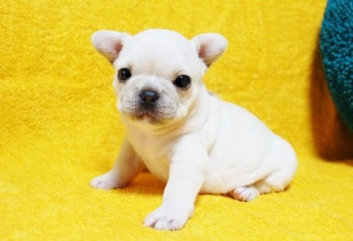 フレンチブルドッグの子犬(ID:1246811022)の1枚目の写真/更新日:2019-08-25