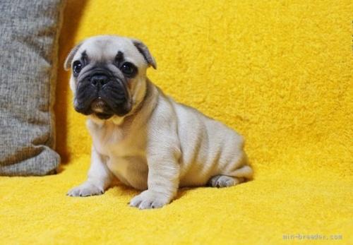 フレンチブルドッグの子犬(ID:1246811023)の1枚目の写真/更新日:2019-11-18