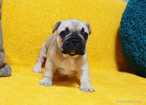 フレンチブルドッグの子犬(ID:1246811023)の2枚目の写真/更新日:2019-11-18