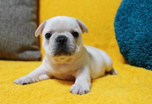 フレンチブルドッグの子犬(ID:1246811031)の2枚目の写真/更新日:2019-11-23