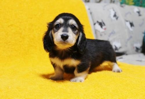 ミニチュアダックスフンド(ロング)の子犬(ID:1246811035)の2枚目の写真/更新日:2021-08-27