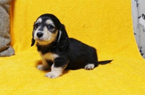 ミニチュアダックスフンド(ロング)の子犬(ID:1246811035)の3枚目の写真/更新日:2021-08-27