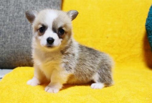ウェルシュ・コーギー・ペンブロークの子犬(ID:1246811049)の1枚目の写真/更新日:2019-05-31