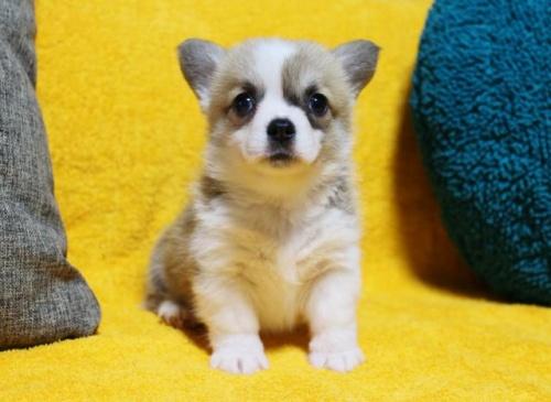 ウェルシュ・コーギー・ペンブロークの子犬(ID:1246811049)の2枚目の写真/更新日:2019-05-31