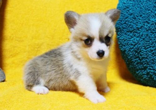 ウェルシュ・コーギー・ペンブロークの子犬(ID:1246811049)の3枚目の写真/更新日:2019-05-31