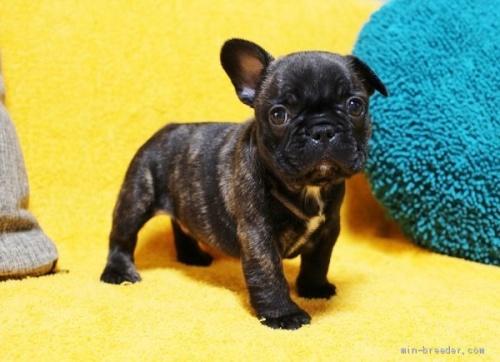 フレンチブルドッグの子犬(ID:1246811059)の3枚目の写真/更新日:2018-06-25