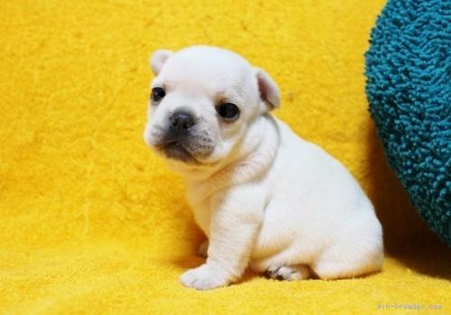 フレンチブルドッグの子犬(ID:1246811063)の2枚目の写真/更新日:2018-06-25