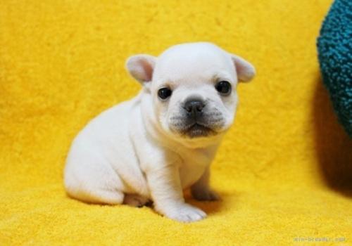 フレンチブルドッグの子犬(ID:1246811063)の3枚目の写真/更新日:2018-06-25