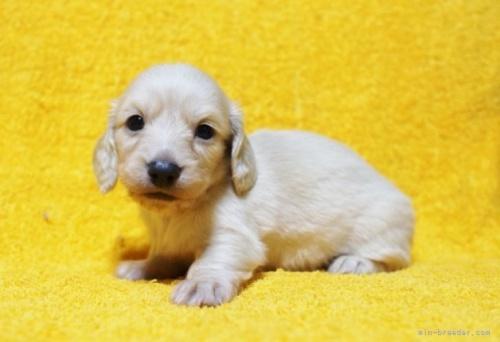 ミニチュアダックスフンド(ロング)の子犬(ID:1246811072)の2枚目の写真/更新日:2017-02-22