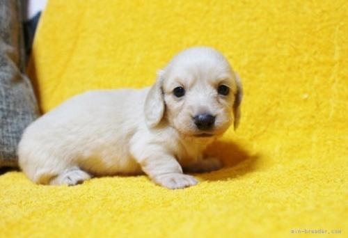 ミニチュアダックスフンド(ロング)の子犬(ID:1246811072)の3枚目の写真/更新日:2017-02-22