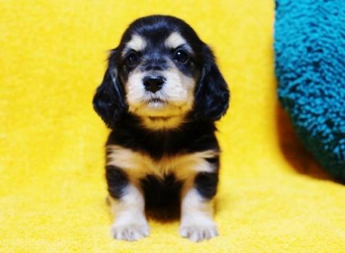 ミニチュアダックスフンド(ロング)の子犬(ID:1246811073)の1枚目の写真/更新日:2017-02-22